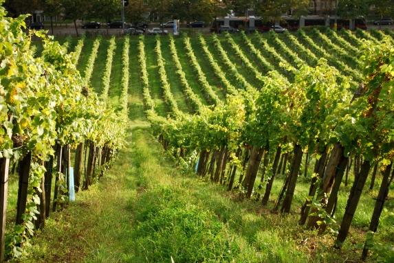 urban vinegardening in Dornbach neben der Bim 43